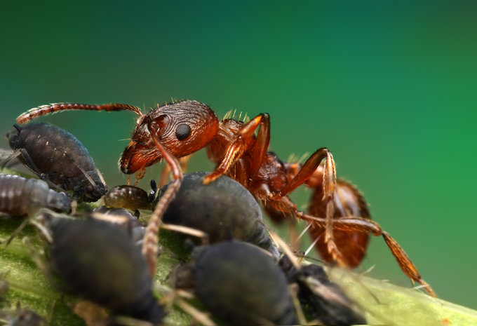 Ant meat by Ondrej Pakan - Downloaded from 500px_jpg