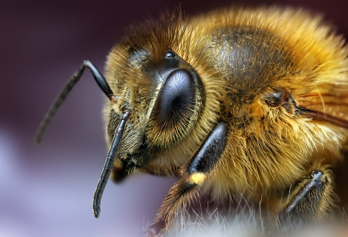 Bee by Ondrej Pakan - Downloaded from 500px_jpg
